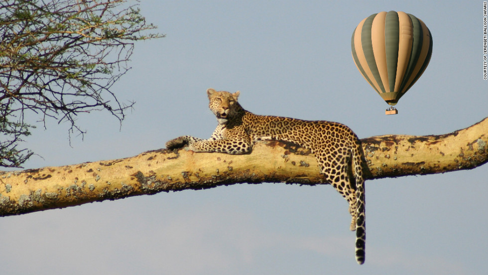 Serengeti Balloon Safari - Aspiring balloonists can peek over the side of the basket for chances to see wildlife from far enough away to land unscathed. Survival is celebrated with a traditional champagne toast.